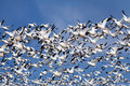 Snow Geese In Flight Stock Images - 27132234