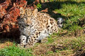 Cute Baby Amur Leopard Cub Chewing Grass Royalty Free Stock Photo - 27146255