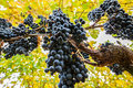 Wine Grapes Royalty Free Stock Image - 27153716