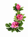 Wild Rose (Dog Rose) Stock Photos - 27160293