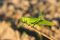 Green Grasshopper Royalty Free Stock Images - 27171709