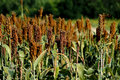 Millet Stock Photography - 27187742