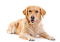 Golden Retriever Royalty Free Stock Photography - 27187887