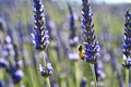 Bee On Lavender Stock Images - 27191834