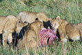 Pride Of Lions Eating The Prey Stock Photography - 27198142