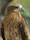 Red-tailed Hawk Royalty Free Stock Images - 27199399