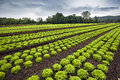 Lettuce Field Stock Photography - 27208572