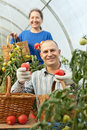 Woman And Man Picking Tomato Stock Images - 27214064