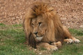 Lion Lounging Stock Images - 27223374