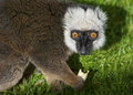 White Fronted Brown Lemur Stock Image - 27237621