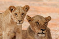 Lioness And Cub Stock Images - 27249474
