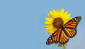 Monarch Butterfly On Sunflower Against Blue Sky Stock Images - 27250284
