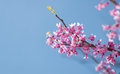 Eastern Redbud Tree, Cersis Canadensis Stock Images - 27250414