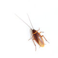 Cockroach Royalty Free Stock Photo - 27263385
