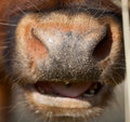 Cow Nose Close Up Stock Images - 27265064