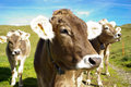 Cows In Pasture Royalty Free Stock Photos - 27272948