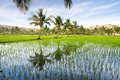 Picturesque Landscape With Rice Plantation.  India Royalty Free Stock Photo - 27273275