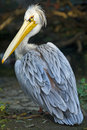 Pelican Royalty Free Stock Images - 27274759
