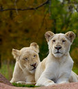 Pair Of White Lions Royalty Free Stock Images - 27294479