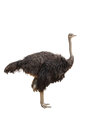 Ostrich Stock Image - 27303741