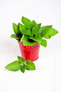 Stinging Nettle In Red Bucket Stock Photo - 27308300
