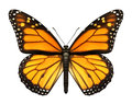Monarch Butterfly Royalty Free Stock Image - 27320476