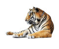 Tiger Isolated Royalty Free Stock Photo - 27331115