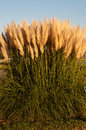 Pampas Grass Royalty Free Stock Images - 27343539
