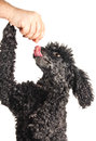 French Poodle Begging For Treats Royalty Free Stock Photography - 27350437
