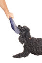 French Poodle Playing Tug Of War Stock Images - 27350444