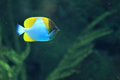 Pyramid Butterflyfish Royalty Free Stock Photo - 27350825