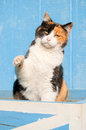 Playful Calico Cat With Her Paw In The Air Royalty Free Stock Photos - 27368258