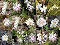 South West Australian White  Wild Flowers Collage Stock Photography - 27376402