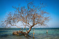 Bare Tree In Tropical Blue Sea Royalty Free Stock Photos - 27376688