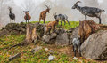 Swiss Mountain Goats Stock Photo - 27381590