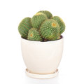 Ball Cactus In Flower Disc Stock Photos - 27396453