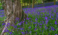 Typical English Bluebell Wood Royalty Free Stock Photography - 2743447