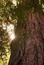 Redwood Trunk And Sun Flare Royalty Free Stock Photo - 2744005