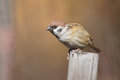 Sparrow Stock Images - 27404794