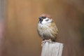 Sparrow Stock Photo - 27404940