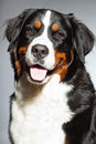 Young Berner Sennen Dog. Stock Images - 27407304