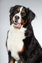 Young Berner Sennen Dog. Royalty Free Stock Image - 27407306