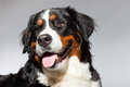 Young Berner Sennen Dog. Royalty Free Stock Images - 27407329