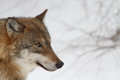 Wolf Stock Images - 27411294