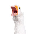 Domestic Goose Royalty Free Stock Photography - 27421327