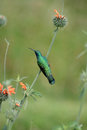Sparkling Violetear Hummingbird On A Bush Royalty Free Stock Photos - 27438548