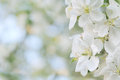 Apple Blossom Stock Images - 27448604