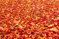 Fall Orange And Red Autumn Leaves On Ground Royalty Free Stock Photography - 27457067