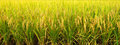 Rice Field Stock Images - 27474274