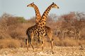 Giraffe Bulls Royalty Free Stock Photo - 27483515